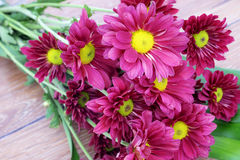 Beautiful Pink Chrysanthemum flower Royalty Free Stock Images