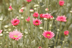 Beautiful  pink chrysanthemum flowers Royalty Free Stock Images