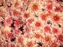 Beautiful Pink Chrysanthemum Flowers In The Garden. A close up shot of some pretty pink chrysanthemum flowers in the garden in natural sunlight Stock Photos