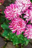 Beautiful pink Chrysanthemum flowers Stock Photos