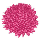Beautiful pink chrysanthemum isolated on white background. Stock Image