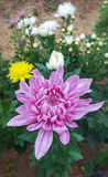 Beautiful pink chrysanthemum. Royalty Free Stock Photography