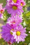Beautiful pink  chrysanthemums -close up Stock Image