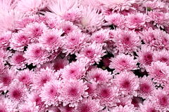 Beautiful pink chrysanthemums Stock Photo