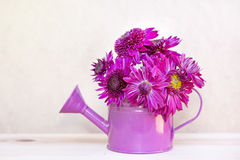 Beautiful pink  chrysanthemums flowers in purple water can Royalty Free Stock Photos