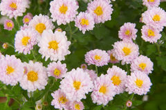 Beautiful pink chrysanthemums on green background Stock Images