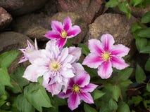 Beautiful pink clematis cultivar 'Piilu' Royalty Free Stock Photos