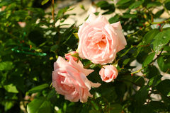 Beautiful, pink, climbing rose Royalty Free Stock Images
