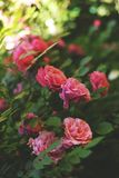 Beautiful pink climbing roses in spring in the garden. Red flowers in the warm sunny day stock photography