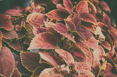 Beautiful pink color gardening leaf tree Royalty Free Stock Photos