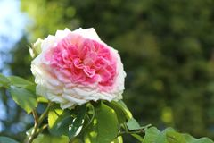 Beautiful Pink color Roses in garden, Background stock photos