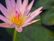 Beautiful pink color water lily or lotus flower Stock Images