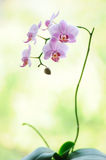 Beautiful pink colored phalaenopsis orchid flower branch Royalty Free Stock Photo