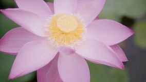 Beautiful pink colour lotus flower at the garden on the water park at sunny summer day. Bud is open. Camera rotating