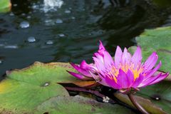 Look, it`s water lily stock images