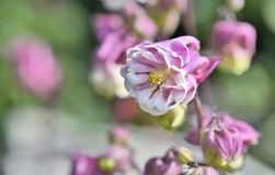 Close on beautiful pink columbine flower. Blossoming in a garden stock photography