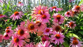 Beautiful pink cone flowers stock video