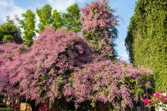 Beautiful pink Congea tomentosa tree in the garden.may be called Wooly Congea,Shower Orchid,krua on. Congea tomentosa is a large tropical evergreen vine Royalty Free Stock Photo
