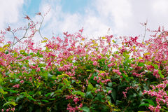 Beautiful Pink Coral Vine or mexican creeper or chain of love fl Stock Photo