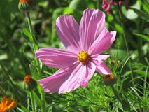 Beautiful pink cosmees, daisy family, asteraceae royalty free stock images