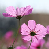 The beautiful pink cosmos Stock Photography
