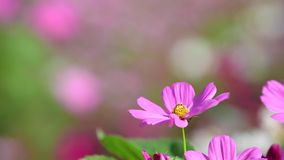 Pink cosmos flower in cosmos field. Beautiful pink cosmos flower blooming in nature garden. nature background stock video footage