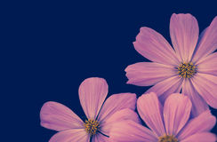 Beautiful Pink Cosmos Flower on blue background Royalty Free Stock Images