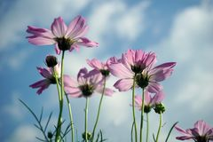 Beautiful pink cosmos flowers and Blue sky. Pink cosmos flowers and Blue sky spring nature fresh colorful plant blossom field beauty green season background royalty free stock photos