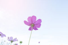 Beautiful pink cosmos flowers Royalty Free Stock Images