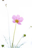 Beautiful pink cosmos flowers Royalty Free Stock Photography