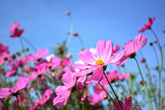 Beautiful pink cosmos flowers field. Royalty Free Stock Photo