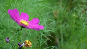 Beautiful cosmos flowers on the flowerbed. Close up. Beautiful pink cosmos flowers on the flowerbed. HD video footage static camera stock video footage