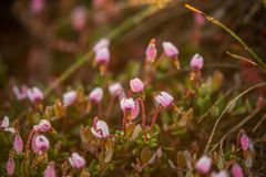 A beautiful pink cranberry flowers in a natural habitat of swamp. Spring scenery of wetlands. In Latvia, Northern Europe stock photos