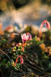 A beautiful pink cranberry flowers in a natural habitat of swamp. Spring scenery of wetlands. In Latvia, Northern Europe royalty free stock images