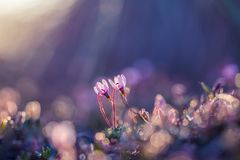 A beautiful pink cranberry flowers in a natural habitat of swamp. Spring scenery of wetlands. In Latvia, Northern Europe royalty free stock photo