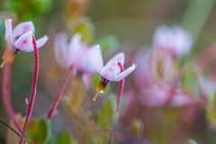 A beautiful pink cranberry flowers in a natural habitat of swamp. Spring scenery of wetlands. In Latvia, Northern Europe stock images