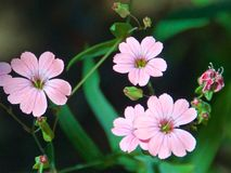 Beautiful pink cutleaf geranium in the garden. In spring stock photos