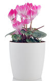 Beautiful pink Cyclamen flower Stock Images