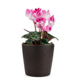 Beautiful pink Cyclamen flower Royalty Free Stock Photos