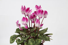 Cyclamen flowers. Beautiful pink Cyclamen flower in a white flowerpot on white background Royalty Free Stock Image