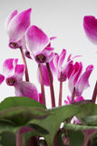 Cyclamen flowers. Beautiful pink Cyclamen flower in a white flowerpot on white background Stock Image
