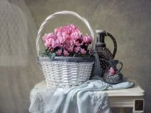 Still life with basket of pink cyclamens. Beautiful pink cyclamens in a luxurious basket in the interior create a spring mood Stock Images