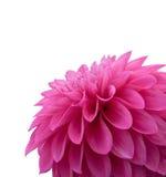 Beautiful pink dahlia Stock Photography