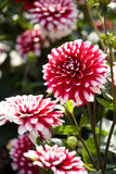 Beautiful pink dahlia Stock Image
