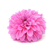 Beautiful Pink Dahlia Stock Photo