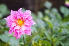 Beautiful pink dahlia bloom in the garden stock images