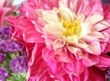 A beautiful pink dahlia stock photos