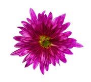 Beautiful pink dahlia Dahlia. Dahlias isolated on white backgrou. Nd Stock Photos