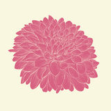 Beautiful pink dahlia drawn in graphical style contours and lines, isolated on background. Stock Photography