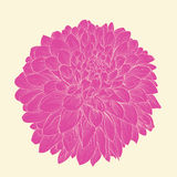 Beautiful pink dahlia drawn in graphical style contours and lines, isolated on background. Royalty Free Stock Image